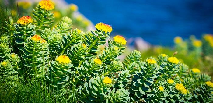 rhodiola rosea planta in natura salbatica aproape de mare