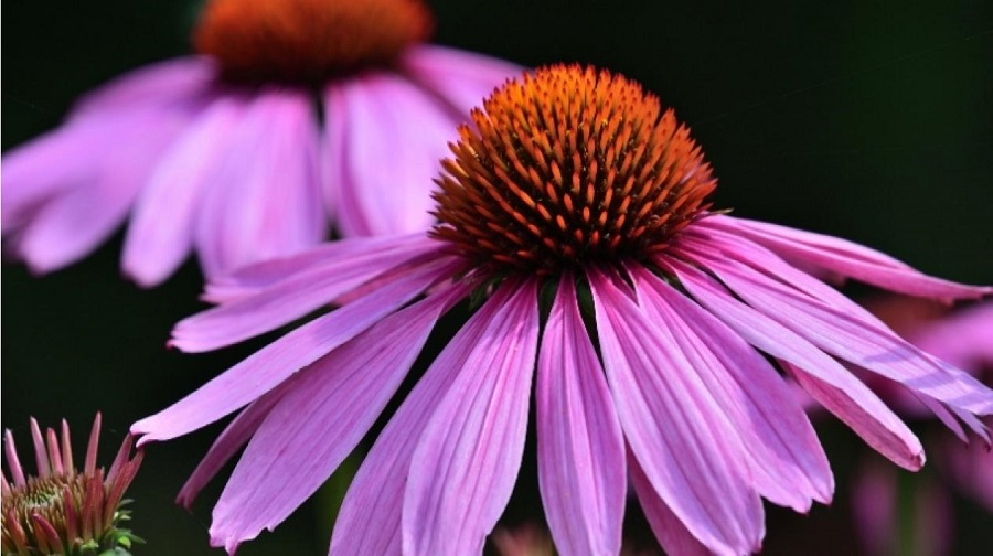 plante antivirale floare de echinacea de culoare mov