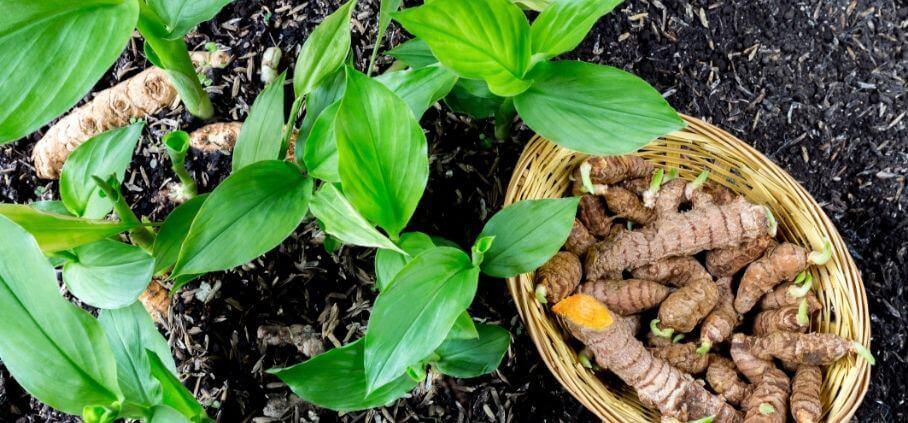 planta curcuma longa cu frunze verzi si radacina de curcuma longa numita popular turmeric