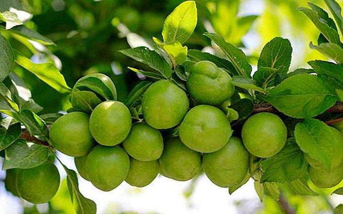 prune kakadu verzi in copac