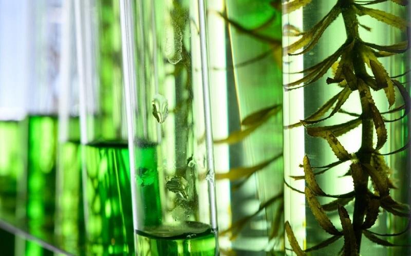clorofila lichida in eprubeta cercetari stiintifice