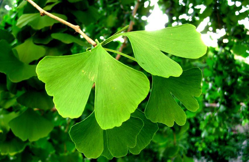 frunze de ginkgo biloba in copac inverzite