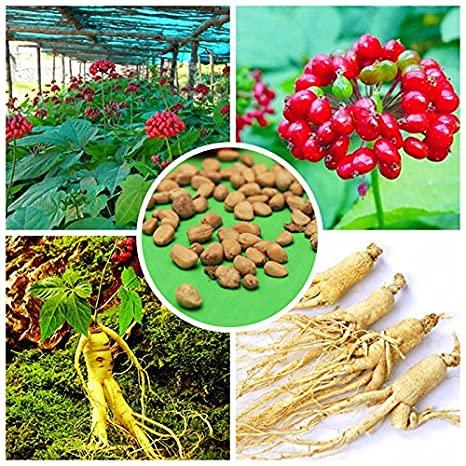 tipuri de planta ginseng si radacina